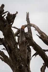 Turdoides rubiginosa