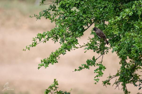 Pycnonotus barbatus