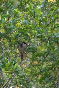 Pycnonotus aurigaster