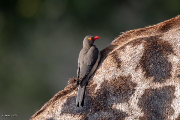 Buphagus erythrorynchus