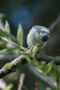 Cyanistes caeruleus caeruleus