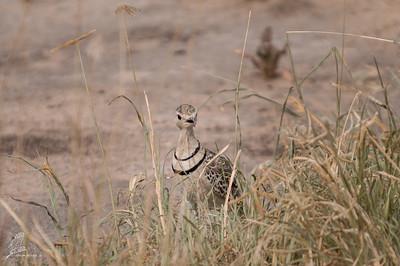 Rhinoptilus africanus