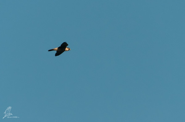 Falco cuvierii
