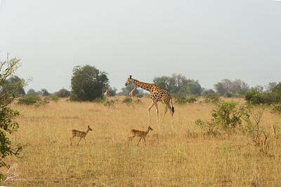 Giraffa camelopardalis rothschildi