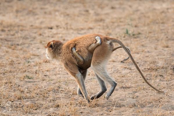 Erythrocebus patas