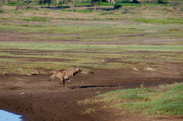 Hyaena hyaena