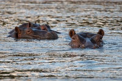 Hippopotamus amphibius