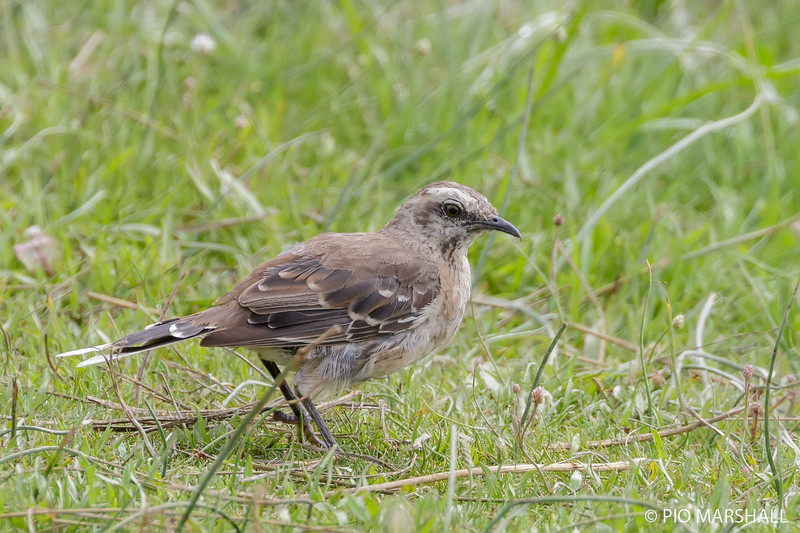 Tenca chilena | Mimus thenca | Chilean Mockingbird