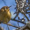 Colilarga | Sylviorthorhynchus desmursii | Des Murs's Wiretail