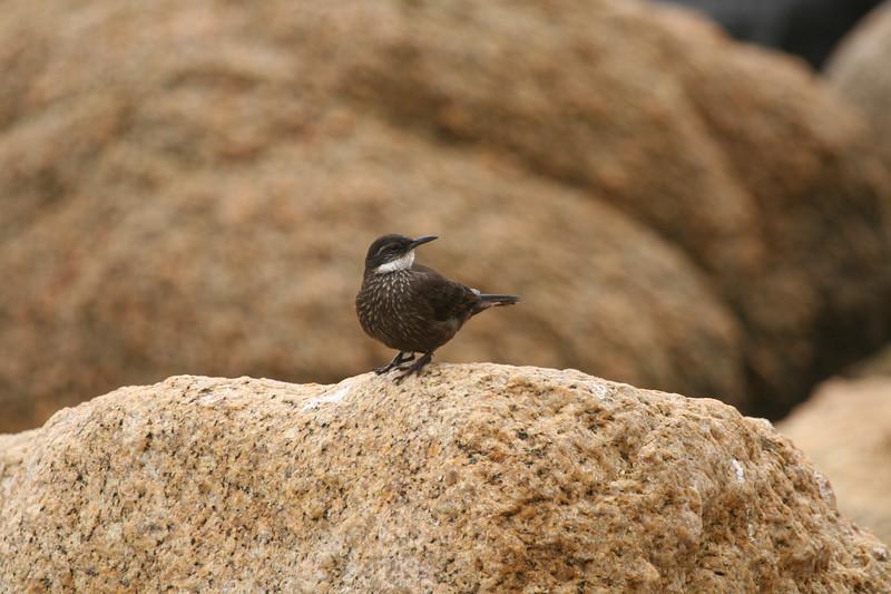 Churrete costero | Cinclodes nigrofumosus | Seaside Cinclodes
