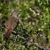 Canastero chileno | Pseudasthenes humicola | Dusky-tailed Canastero