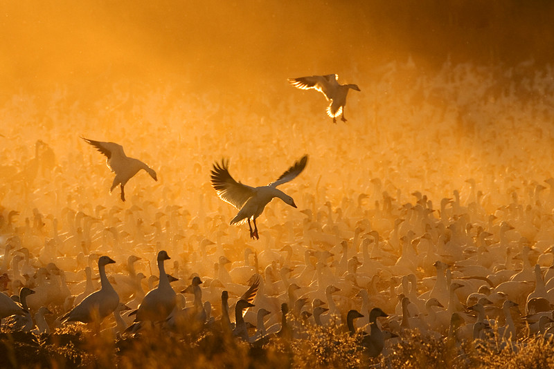 Third Place<br /> Geese in the Corn Dust<br /> Mike Landwehr
