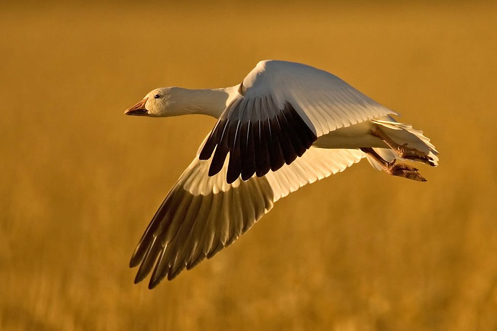 First Place<br /> Projection Image of the Year<br /> Snow Goose at Sunset<br /> Mike Landwehr