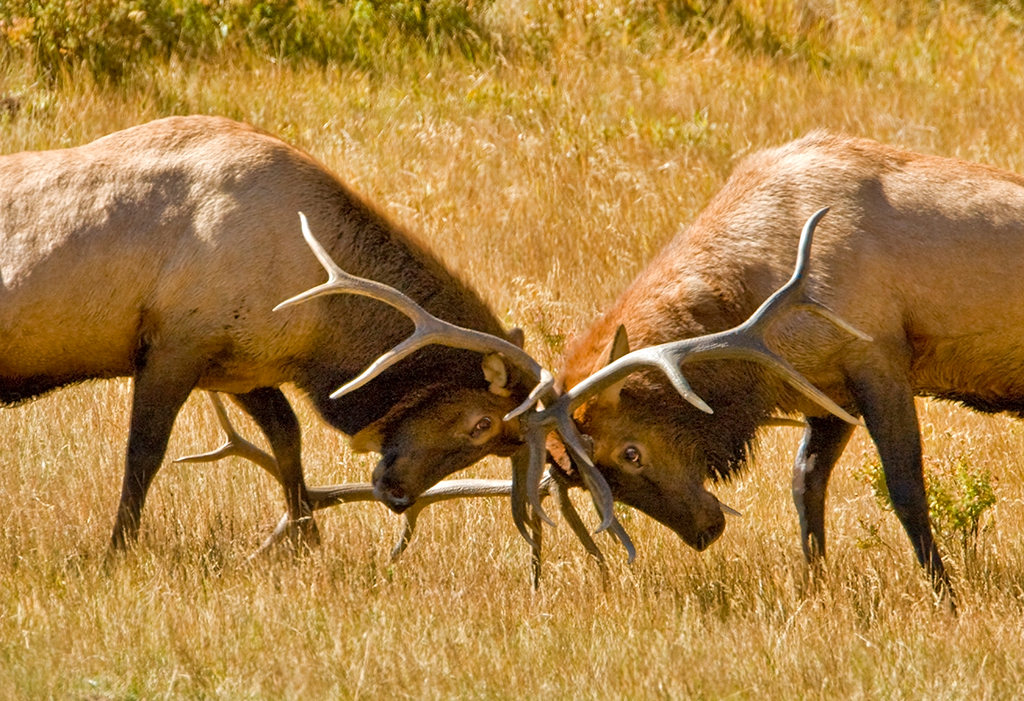 Honorable Mention<br /> Elk Bulls Fight<br /> Walt Beaumont