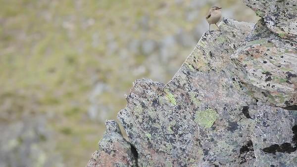 Rock Wren - Ahuriri # 2