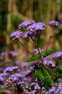 Eupatorium coelestinum- Blue Mistflower