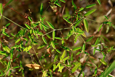 Croton willdenowii- Elliptical Rushfoil