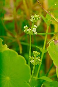 Hydrocotyle prolifera- Whorled Marsh Pennywort