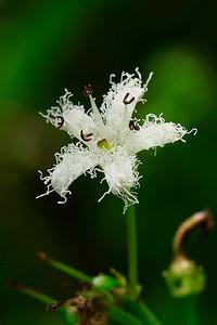Menyanthes trifoliata- Bog Bean