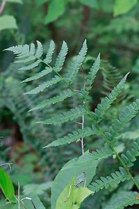 Dryopteris clintoniana- Clinton's Wood Fern