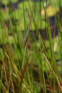 Panicum hirstii- Hirst's Panic Grass