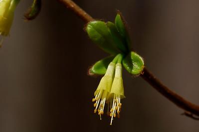 Dirca palustris-Leatherwood