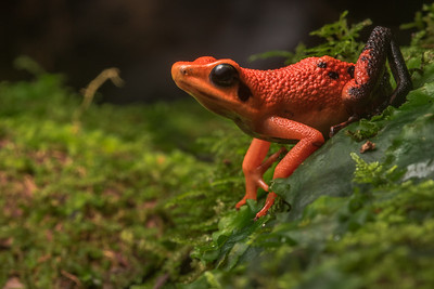 Silverstone's poison frog (Ameerega silverstonei) an endangered poison frog from the cloud forests of Peru. It is threatened by habitat loss and unsustainable poaching for the pet trade.