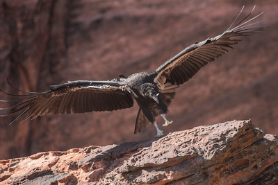 A juvenile California Condor (Gymnogyps californianus), but not just any California condor.  This is 1k, the first condor to successfully fledge in Zion National Park, Utah.