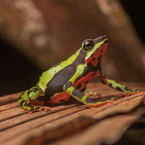 Atelopus pulcher, a critically endangered harlequin toad that has vanished from much of its range due to the Chytrid fungus.  This genus has been particularly hard hit by chytrid with many species considered either extinct or endangered.