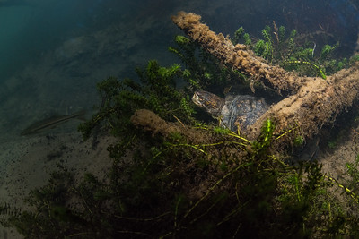 A northwestern pond turtle (Actinemys marmorata) in a cold water stream in California.  This species inhabits a variety of water bodies in its range from permanent streams and rivers to seasonal cattle ponds. Despite its adaptability populations have been declining and the species is considered threatened.