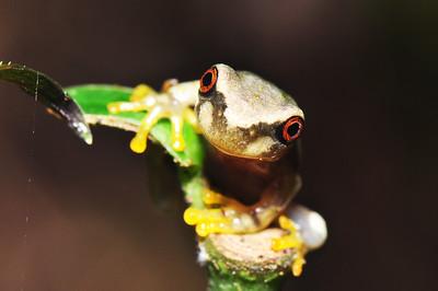 Baby Critically Endangered spike-thumb frog