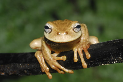 Exquisite spike-thumb frog (Plectrohyla exquisita)