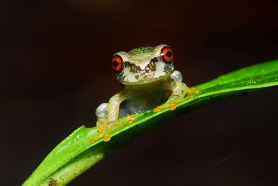 Cusuco spike-thumb frog (Plectrohyla dasypus)