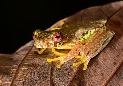 Adult Mossy red-eyed treefrog (Duellmanohyla soralia)