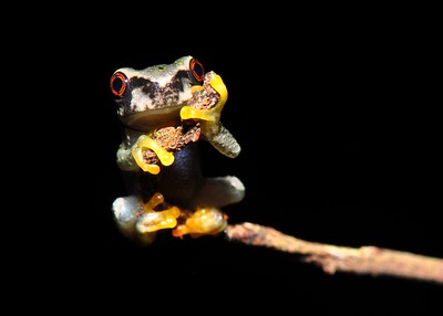 Endangered Frogs
