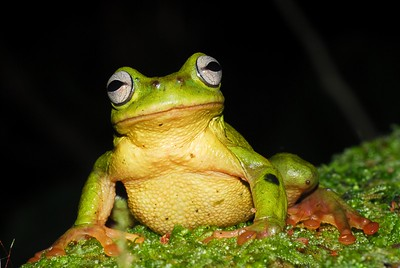 Cusuco spike-thumb frog (Plectrohyla exquisita)