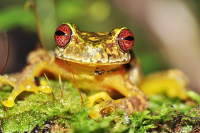 Endangered Mossy red-eyed treefrog (Duellmanohyla soralia)
