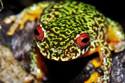 Mossy red-eyed treefrog (Duellmanohyla soralia)