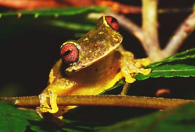 Endangered Mossy Red-eyed Frog (Duellmanohyla soralia)
