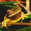 Endangered Mossy Red-eyed Frog (Duellmanohyla soralia)