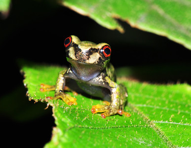 Baby Cusuco spike-thumb frog (Plectrohyla dasypus)