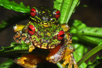 Pair of Endangered Adult Mossy Red-eyed Frogs (Duellmanohyla soralia)