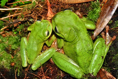 Exquisite spike-thumb frogs (Plectrohyla exquisita)
