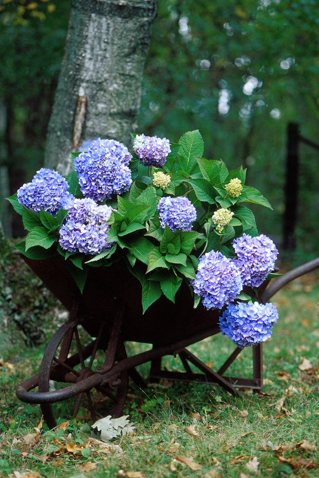 Endless Summer® Hydrangea http://endlesssummerblooms.com/en/consumer/plants/theoriginal