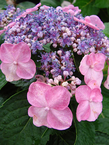 Twist-n-Shout® Hydrangea http://endlesssummerblooms.com/en/consumer/plants/twist_and_shout