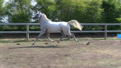 """2006 purebred Arabian mare """"Lindall Condamine"""". Height: 158cm (15.2hh). Sire: Fen (imp.)"""