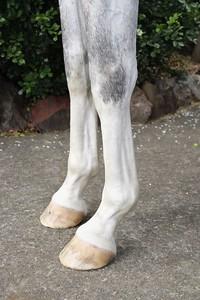 Nagali Kephri 2010 purebred gelding 157cm