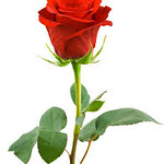 Rose Pictures