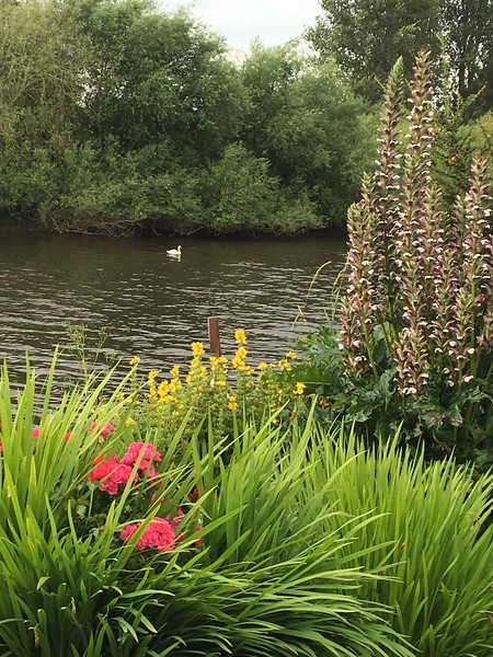 Lone Swan on Severn at Diglis House