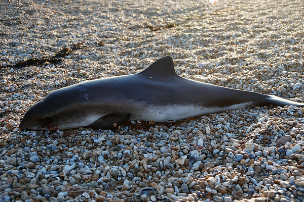 Harbour Porpoise Stranded at Dungeness